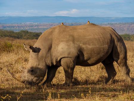 Rhino in Masai Mara park Kenya. 写真素材