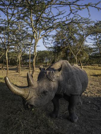 Black rhinoceros in Masai Mara park, Kenya.