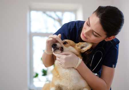 Veterinary surgeon and corgi dog at vet clinic
