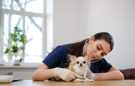 Veterinary surgeon and chihuahua dog at vet clinic Stock Photo