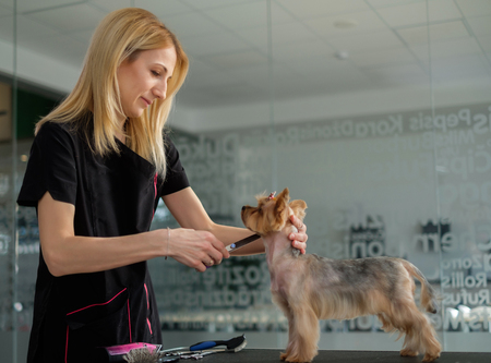 Yorkshire terrier at a dog grooming salon Stockfoto