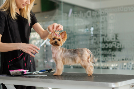 Yorkshire terrier at a dog grooming salon Banque d'images