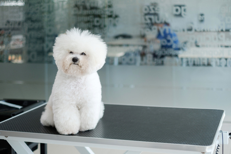 Bichon Fries at a dog grooming salon Stok Fotoğraf - 123063911