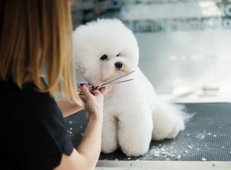 Bichon Fries dans un salon de toilettage pour chiens