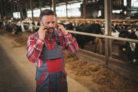 Farmer with a mobile phone in a cowshed on a dairy farm.