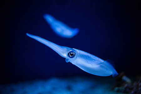 Squid swimming in an aquarium