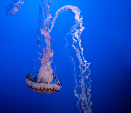 Magnificent exotic jellyfishes in an aquarium. Stok Fotoğraf
