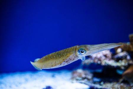 Squid swimming in an aquarium