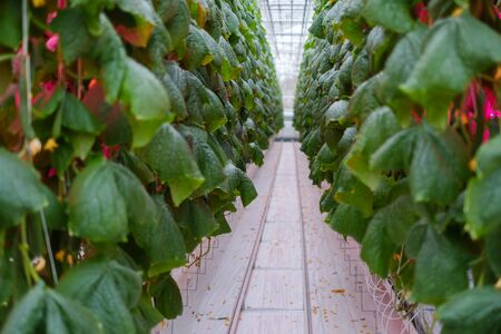 Cucumber farm inside modern greenhouse
