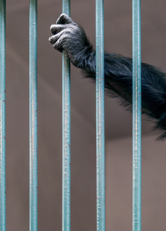 heartbreaking: Hand of Chimpanzee holding the grille in the cage at the zoo