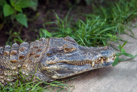 aquatic reptile: Resting Alligator sticking out from the bushes