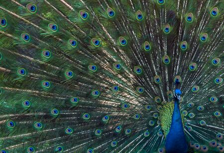 widespread: Closeup Porteait of Beautiful Colorful peacock with multicolored feathers on an widespread tail.