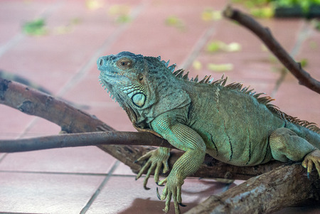'hide out': Iguana on a branch close-up Stock Photo