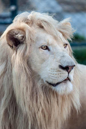 cruel zoo: White lion (Panthera leo krugeri) in moments of rest