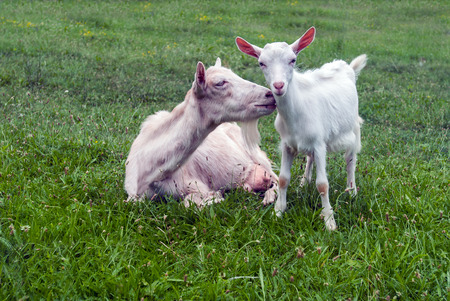 baby goat: Baby goat with mother Stock Photo