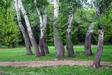copse: A group of trees at the Edge of Birch Wood on a forest glade Meadow Stock Photo