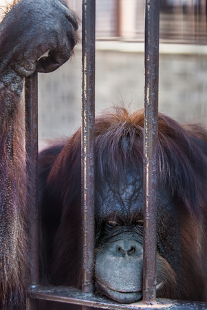 sumatran: Boredom Sumatran orangutan leaning against the bars, thoughtful and depressed Stock Photo
