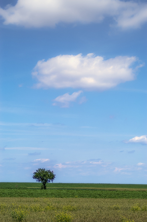 lonely tree: Lonely tree on the field - Deliblato, Serbia.