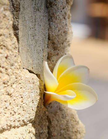 antipode: Yellow plumeria (frangipani) flower in the stone wall
