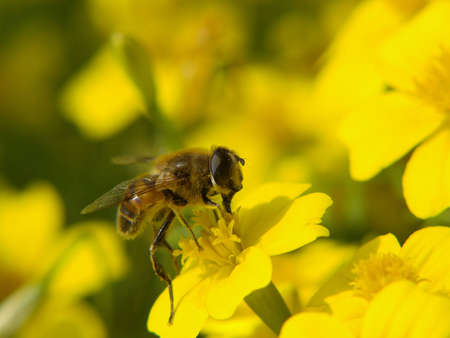 industriousness: Honey bee collecting pollen on a yellow flower