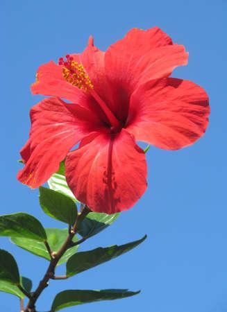 hibisco: Flor de hibisco rojo en el fondo de cielo