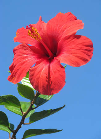 Red hibiscus flower on the sky background