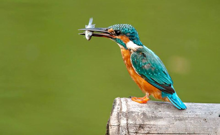 alcedo: Photo of a Common Kingfisher catched a fish