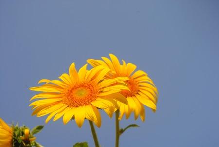 sunflower isolated: Smiling Sunflower, Isolated