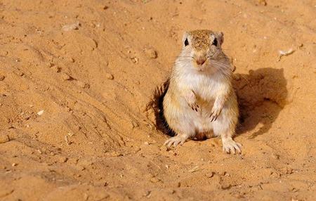 캥거루 쥐, 매우 드문 작품