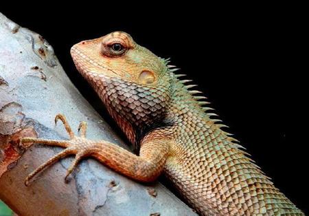 night stick: chameleon at night sitting on stick, captured during night safari Stock Photo