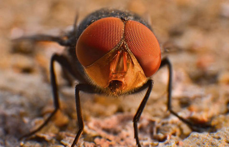 extreme close up: Extreme close up of a Housefly