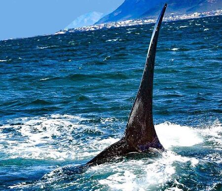 Southern Right Whale Stock Photo