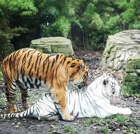 Tiger couple in forest Stock Photo