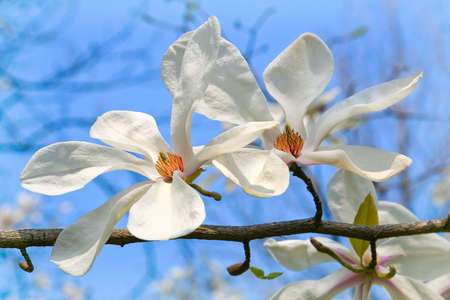 White magnolia blossoming by early spring