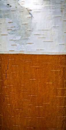 stripped bark of birch two colors photo