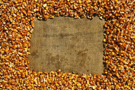 frame of ripe maize grains