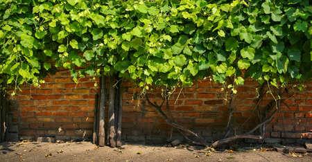 Grapes climbing on a brick wall