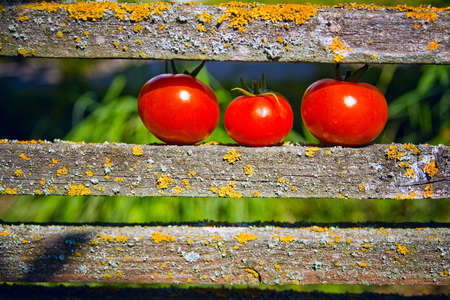 three ripe tomatoes lying on the fence
