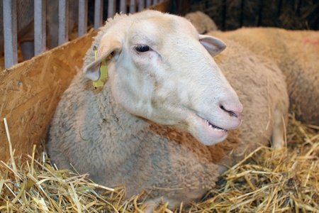Sheep in its cubicle during an agricultural axposition