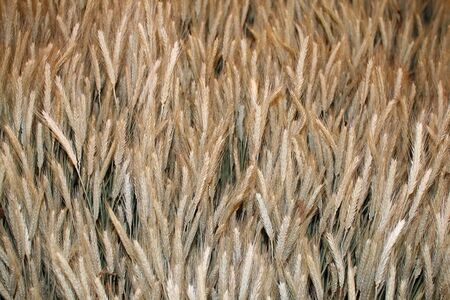 admixture: barleys malted Stock Photo