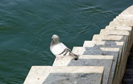 pigeon on the banks of the Seine in Paris  France