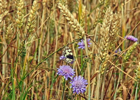 butterfly  half-mourning  flitting in a wheat field photo