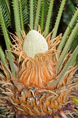 spermatophyte: sapling of a cycas of Japan  Madeira