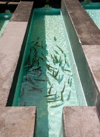 fish breeding: a breeding of young fish in a pond