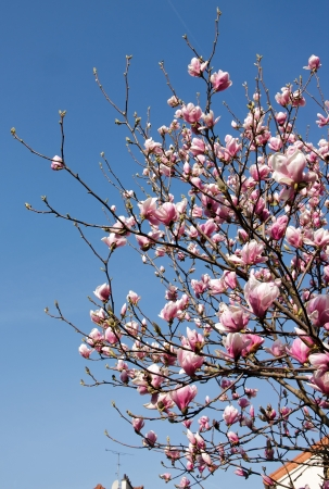 Magnolia in town, roofs and fireplaces