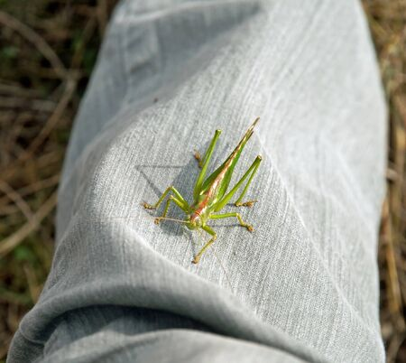 settled: grasshopper settled on a trouser leg