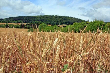 wheatfield: wheatfield in the French countryside Stock Photo