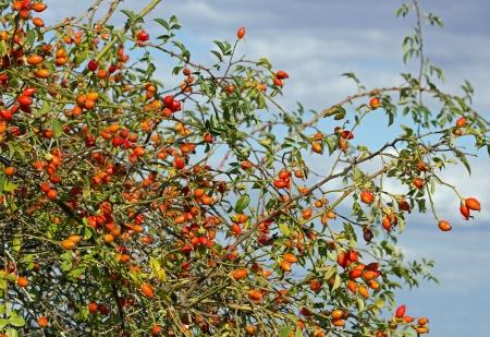 rose-bush: owoce dzikiej róży krzak, swędzenie proszku Zdjęcie Seryjne