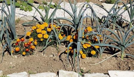 officinal: calendula, marigold in leeks, to push away caterpillars, chenilles, and verses