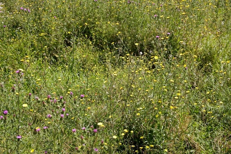 uncultivated: uncultivated meadow, plants for bees